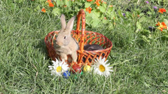 The red-haired rabbit sitting in the Easter basket and licks itself Stock Footage