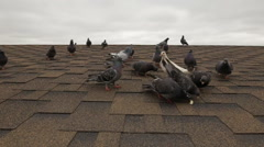 Flock pigeons feeding in and scare - slowmotion Stock Footage