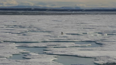 Polar bear walking on sea ice Stock Footage