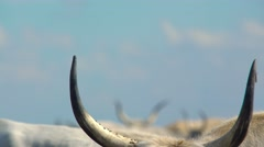 Angus cattle horns Stock Footage