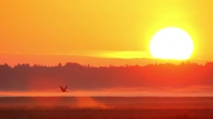 Common Crane flying flock at dawn. Stock Footage