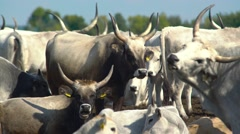 Cattle in the yard Stock Footage