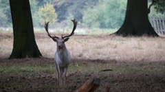 Male Fallow Deer in the woods at Richmond Park Stock Footage