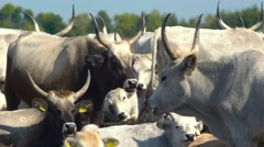 Angus cattle chewing Stock Footage