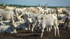 Calves in the herd Stock Footage