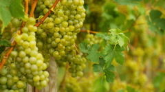 White grapes bunch Stock Footage