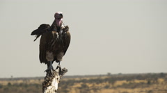 White-backed vulture on tree masai mara, kenya Stock Footage