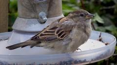Wildlife female house sparrow on bird feeder Stock Footage