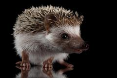 Prickly hedgehog isolated on Black Background Stock Photos