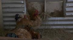 Happy Hens lay wonderful eggs Stock Footage
