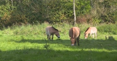 Przewalski's Horse, Equus ferus przewalskii or Takhi grazing Stock Footage