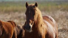 Wild stallion in the danube delta, Letea forest Stock Footage