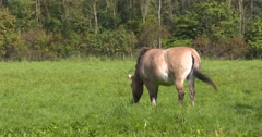 Przewalski's Horse - wild horse grazing Stock Footage