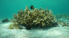 Staghorn coral Acropora pulchra in the lagoon Stock Footage