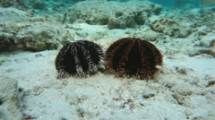 Two collector urchin underwater on the ocean floor Stock Footage