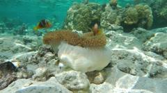 Underwater sea anemone tropical fish clownfish Stock Footage