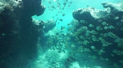 Underwater shoal of fish whitespotted surgeonfish Stock Footage
