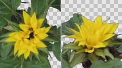 Time-lapse blooming sunflower two synchronised cameras with ALPHA channel Stock Footage