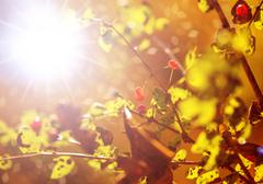 Sun and yellow leaves Stock Photos