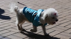 Walking with a little pet dog on a street Stock Footage