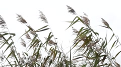 Bulrush Silhouette On Sky Background Stock Footage