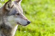 North American Gray Wolf Stock Photos