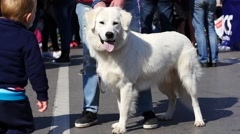 White big beautiful dog on a leash - walking with pet animal in public place Arkistovideo