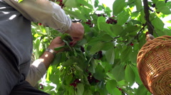 Farmer with basket gathering cherries from a tree Stock Footage