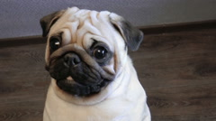 Pug-dog looking into camera Stock Footage