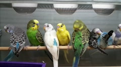 Parrots for sale in the shop Stock Footage