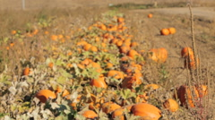 Orange pumpkins on pumpkin patch in early Autumn. Stock Footage
