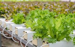 Close up of Fillie Iceburg leaf lettuce vegetables plantation Stock Photos