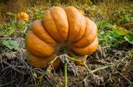 Ripe pumpkins on the field Stock Photos