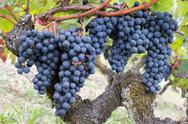 Red grapes on vine. Vine grape fruit plants outdoors Stock Photos