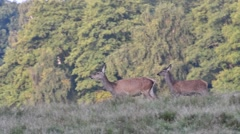 Panning shot of herd of red deer hinds running through meadom Stock Footage