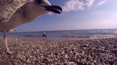 A seagull tries to taste a camera on a beach in Aegean sea in Greece Stock Footage