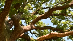 Thick branches and foliage of centuries old English oak tree Stock Footage
