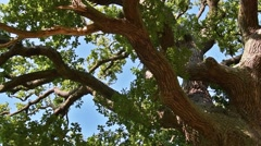 Rotating view of thick branches and foliage of centuries old oak tree Stock Footage