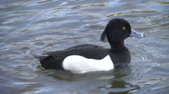 Close Tufted Duck floats Stock Footage