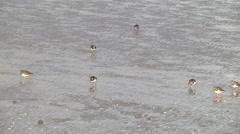 Group of Ruddy turnstone, adult non-breeding plumage, feeding Stock Footage