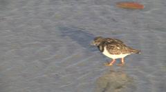 Ruddy turnstone, adult non-breeding plumage, feeding and defecatiing Stock Footage