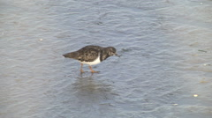 Ruddy turnstone, adult non-breeding plumage, feeding in shade Stock Footage