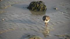 Ruddy turnstone, adult non-breeding plumage, feeding, close Stock Footage