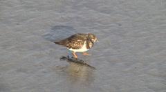 Ruddy turnstone, adult non-breeding plumage, feeding next to algae Stock Footage