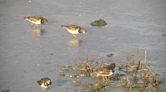 Ruddy turnstone, adult non-breeding plumage, standing in reed Stock Footage
