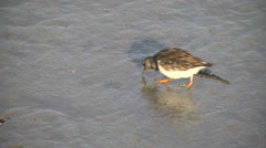 Ruddy turnstones, adult non-breeding plumage, feeding Stock Footage