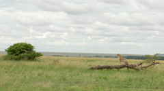 Cheetah (Acinonyx jubatus) on branch looking in distance, Lock shot in low angle Stock Footage