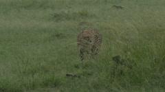Cheetah (Acinonyx jubatus) walking in the rain Stock Footage
