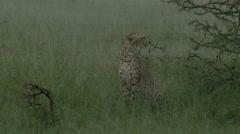 Cheetah (Acinonyx jubatus) sitting in the rain Stock Footage
