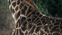 Oxpecker on the neck of a giraffe in masai mara, kenya Stock Footage